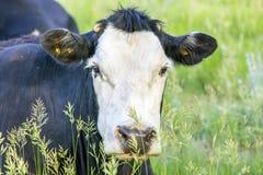 Vaca agujereada Imagen de archivo libre de regalías