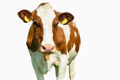 Vaca aislada en blanco Imagen de archivo libre de regalías