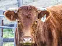 Vaca alaranjada que olha fixamente na câmera Imagens de Stock Royalty Free