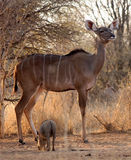 Vaca alerta de Kudu Fotografia de Stock Royalty Free