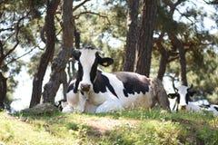 Vaca alimentada hierba con una cara feliz Imagen de archivo libre de regalías
