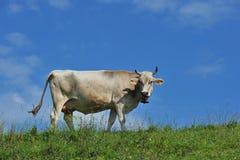 Vaca Allgäu Alemania Foto de archivo libre de regalías