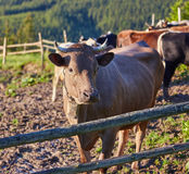 Vaca alpestre Las vacas se mantienen a menudo en granjas y pueblos Éste es animales útiles fotografía de archivo libre de regalías