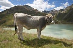 Vaca alpina Áustria Fotos de Stock