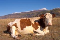 Vaca alpina fotografia de stock