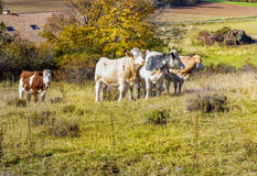 Vaca alpina em seu pasto Foto de Stock Royalty Free