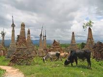 Vaca alrededor de los stupas del Paya Kyaukhpyugyi, lago Inle, Myanmar Imágenes de archivo libres de regalías