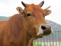 Vaca amarela em um parque do país Foto de Stock