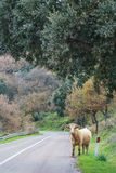 Vaca ao longo da estrada foto de stock royalty free