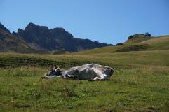 A vaca aprecia encontrar-se no sol em cume de siusi em Tirol sul Fotografia de Stock