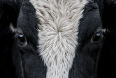 Vaca, ascendente próximo da cara Imagens de Stock Royalty Free