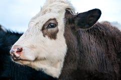 Vaca, ascendente próximo da cara Fotografia de Stock Royalty Free