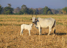 Vaca asiática y pequeño becerro Foto de archivo libre de regalías