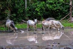 Vaca Asia Fotografía de archivo