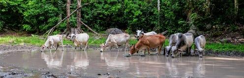 Vaca Asia Foto de archivo