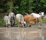 Vaca Asia Imágenes de archivo libres de regalías