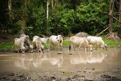 Vaca Asia Imagen de archivo