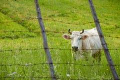 Vaca atrás do arame farpado Foto de Stock Royalty Free