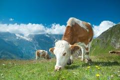 Vaca austríaca foto de archivo libre de regalías