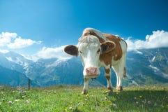 Vaca austríaca fotografía de archivo libre de regalías
