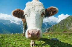 Vaca austríaca imágenes de archivo libres de regalías