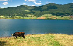 Vaca búlgara de Milka Imagem de Stock Royalty Free