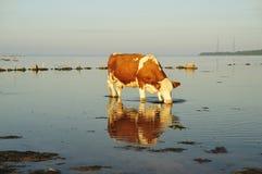 Vaca bebendo Imagens de Stock