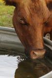 Vaca bebendo da água Fotos de Stock Royalty Free