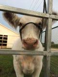 Vaca blanca 3 Fotografía de archivo
