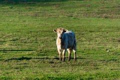 Vaca blanca Imágenes de archivo libres de regalías