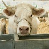 Vaca blanca imagenes de archivo
