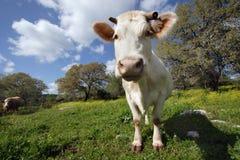 Vaca blanca divertida Imágenes de archivo libres de regalías