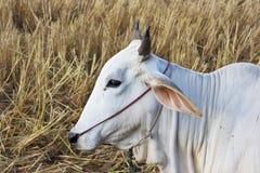 Vaca blanca en archivada Foto de archivo