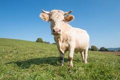Vaca blanca en el prado Foto de archivo libre de regalías