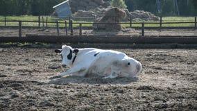 Vaca blanca en la granja almacen de metraje de vídeo