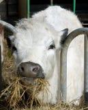 Vaca blanca que mastica el heno Imagen de archivo