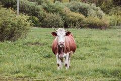 Vaca blanca y marrón Imágenes de archivo libres de regalías