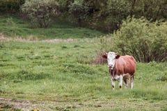 Vaca blanca y marrón Fotografía de archivo libre de regalías