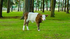 Vaca blanca y marrón del becerro Fotos de archivo libres de regalías