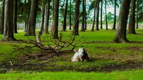 Vaca blanca y marrón del becerro Imágenes de archivo libres de regalías