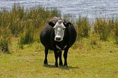 Vaca blanco y negro, Cornualles, Inglaterra Foto de archivo libre de regalías