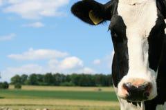 Vaca blanco y negro en el campo Fotos de archivo libres de regalías