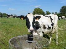 Vaca blanco y negro en el prado Foto de archivo