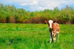 Vaca blanco y negro que pasta en prado en montañas Ganado en un pasto de la montaña Día asoleado del verano Vaca en pasto Meado d Fotografía de archivo