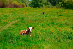 Vaca blanco y negro que pasta en prado en montañas Ganado en un pasto de la montaña Día asoleado del verano Vaca en pasto Meado d Fotografía de archivo libre de regalías