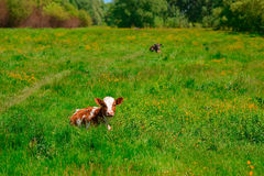 Vaca blanco y negro que pasta en prado en montañas Ganado en un pasto de la montaña Día asoleado del verano Vaca en pasto Meado d Foto de archivo