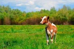 Vaca blanco y negro que pasta en prado en montañas Ganado en un pasto de la montaña Día asoleado del verano Vaca en pasto Meado d Imagen de archivo