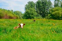Vaca blanco y negro que pasta en prado en montañas Ganado en un pasto de la montaña Día asoleado del verano Vaca en pasto Meado d Imagenes de archivo