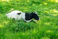 Vaca blanco y negro que pasta en prado en montañas Ganado en un pasto de la montaña Día asoleado del verano Vaca en pasto Meado d Foto de archivo libre de regalías