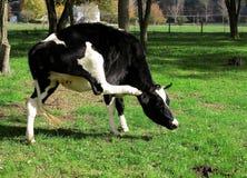 Vaca blanco y negro que rasguña el oído Fotos de archivo libres de regalías